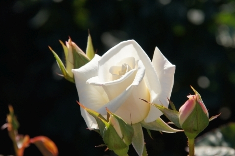 薔薇・銀世界