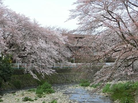 霞川の桜3
