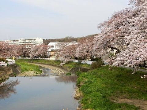 霞川の桜4