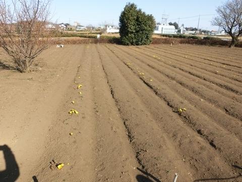 砂川遺跡都市緑地の福寿草1