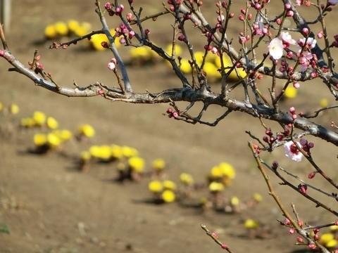 砂川遺跡都市緑地の福寿草と紅梅