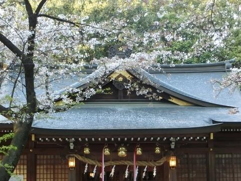 北野天神社の桜3