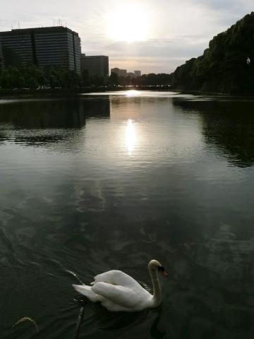 夕日と白鳥