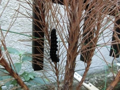 ツマグロヒョウモンの幼虫C