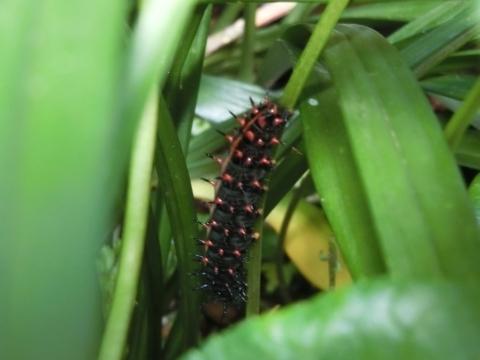 ツマグロヒョウモンの幼虫D
