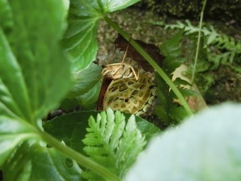 羽化したツマグロヒョウモンA