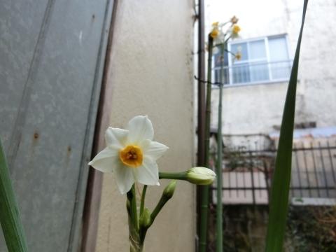 二本目のスイセン開花