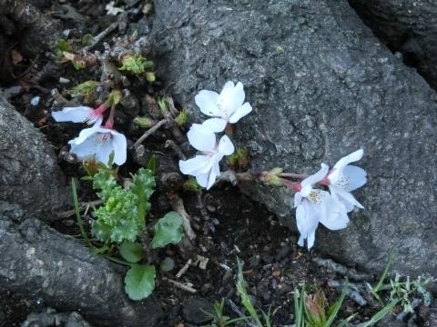 真っ先に咲いたソメイヨシノ