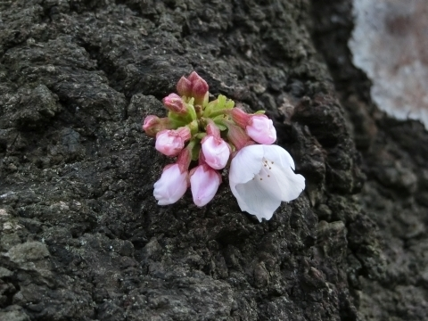 幹に咲いたソメイヨシノ
