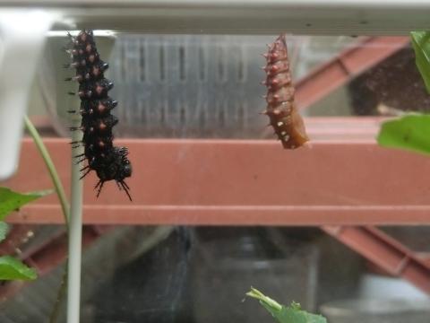 サナギと変態前の幼虫