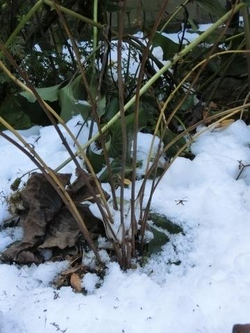 雪の中のシモバシラ
