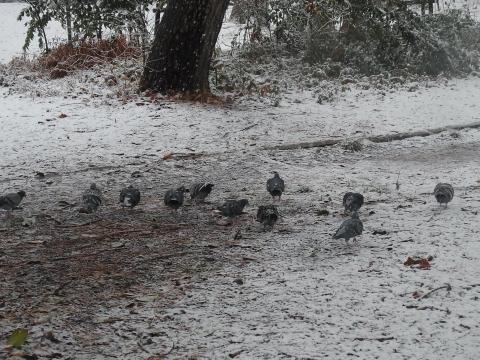 雪上のハト