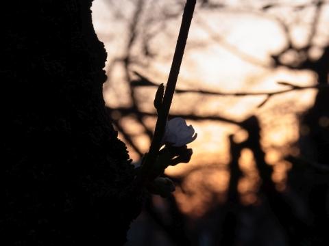 朝日を待つソメイヨシノ