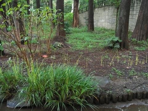 池の畔のヒガンバナ