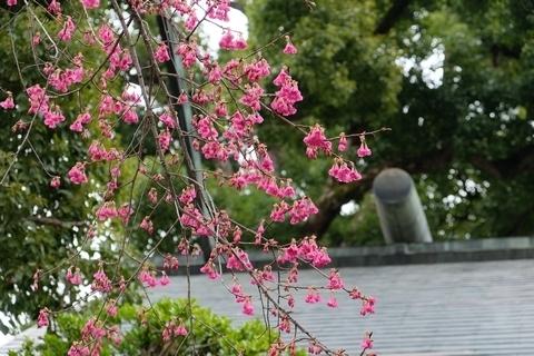 所澤神明社カンヒザクラ