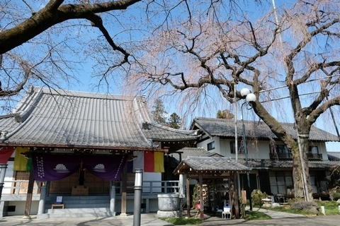 金仙寺枝垂れ桜