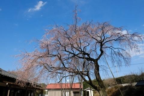 常楽院枝垂れ桜