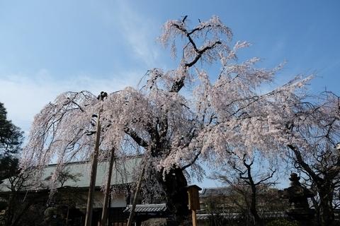 喜多院の枝垂れ桜1