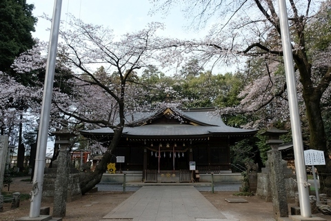 北野天神社のソメイヨシノ
