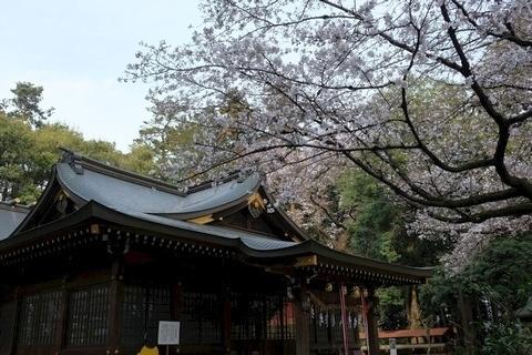 北野天神社 拝殿と桜1