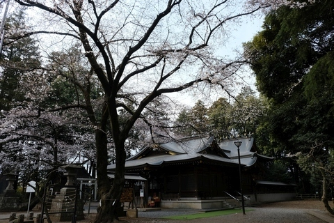 北野天神社 大きなソメイヨシノ