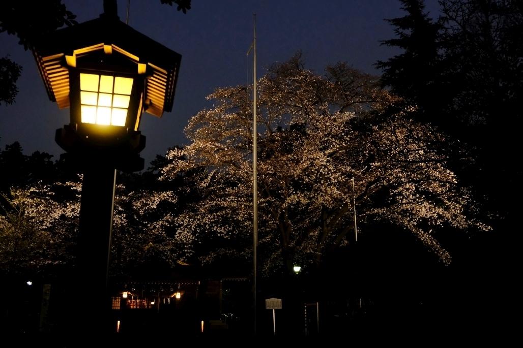 北野天神社 桜のライトアップ1