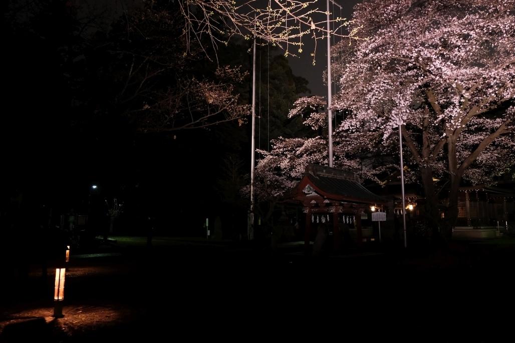 行灯とライトアップされた桜2