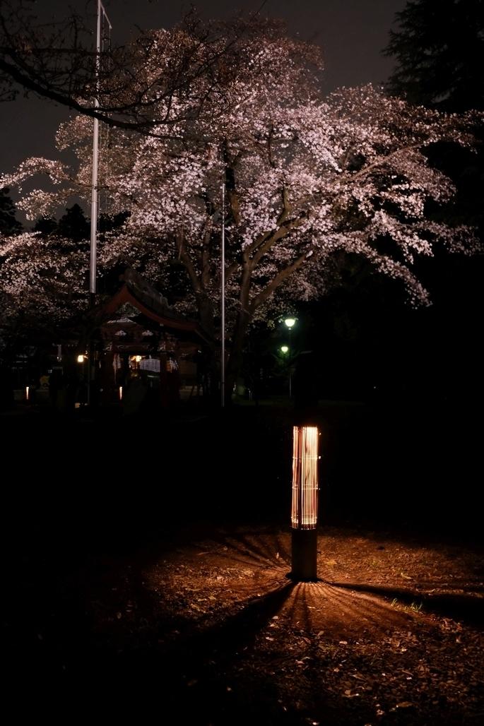 行灯とライトアップされた桜
