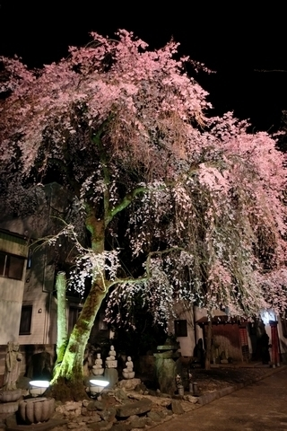新光寺の枝垂れ桜・ライトアップ