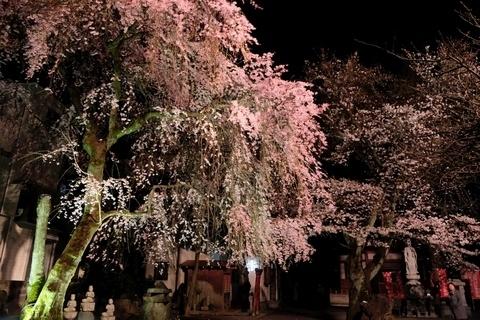 新光寺の桜のライトアップ