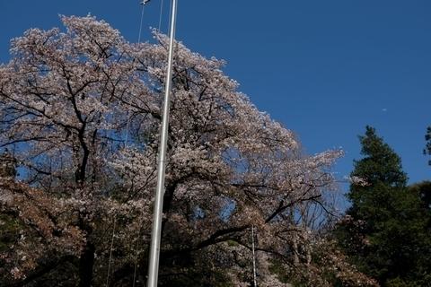 北野天神社の桜