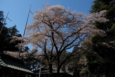北野天神社の桜2