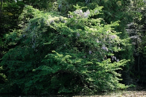 石神井公園の藤1