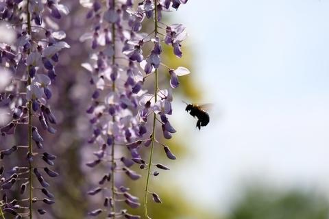 藤とクマバチ4
