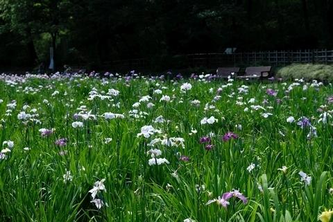 智光山公園花菖蒲園4