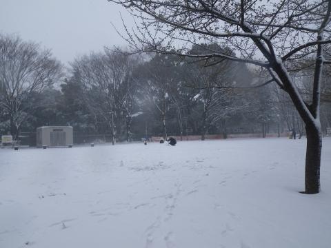 雪の中のカワヅザクラ