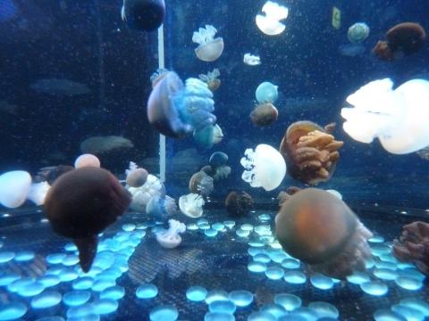 悠真撮影・たくさんのクラゲ