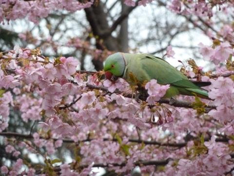 河津桜にワカケホンセイインコ