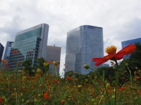 高層ビルを眺めるキバナコスモス