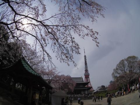 枝垂れ桜と東京タワー
