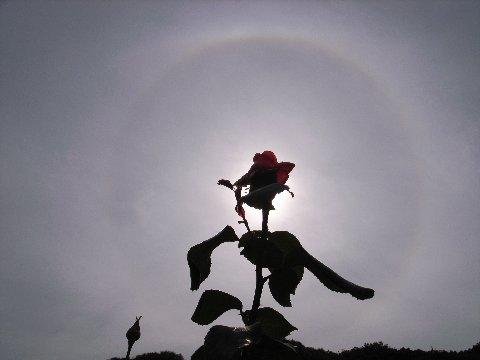 日暈とバラ1