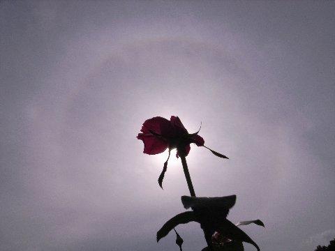 日暈とバラ2