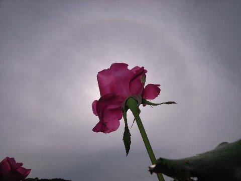 日暈とバラ3