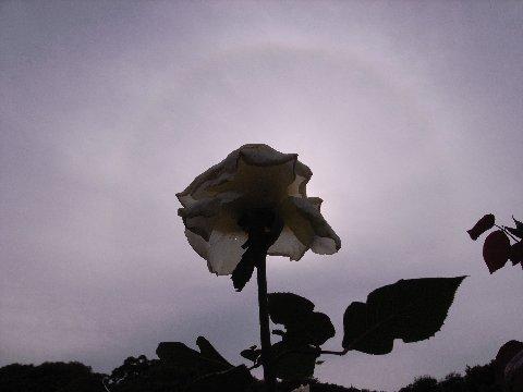 日暈とバラ4
