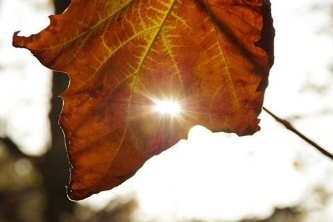 プラタナスの葉の穴