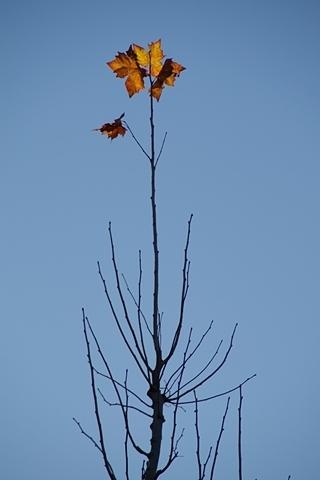 踏みとどまるプラタナスの葉