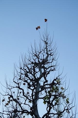 てっぺんのプラタナスの葉