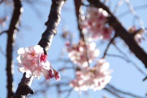 咲き始めた寒桜