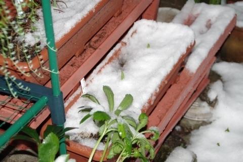 雪が積もったチューリップ