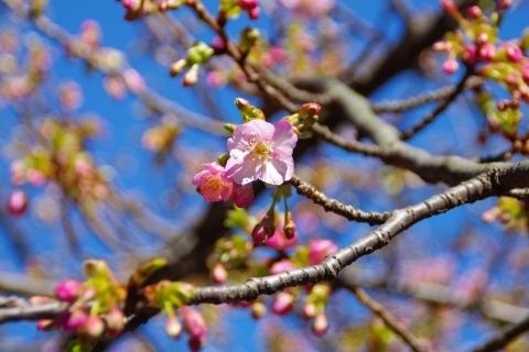 ツボミたくさん、河津桜